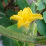 家庭菜園の胡瓜から生きる力を感じます(^-^)